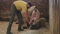 Як захистити носорога від браконьєрів?