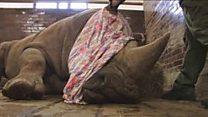 گینڈوں کے غیرقانونی شکار کو روکنے کی انوکھی کوشیش