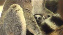 Весняний приплід: у зоопарку Відня побільшало лемурів