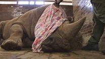 Зачем в чешском зоопарке отрезают носорогам рога