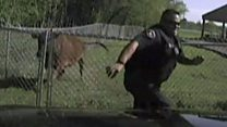 Policeman chased by cow