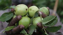 کوهاټ کې د امرودو حاصلات لږ شوي