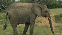 हाथियों की नींद