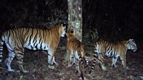Group of rare tigers found in Thailand