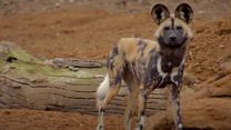 Endangered dogs find new home