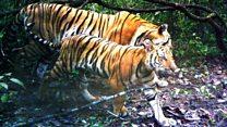 Los tigres de Indochina descubiertos por las cámaras escondidas en Tailandia