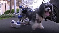 Puffy the dog's new pedal cart