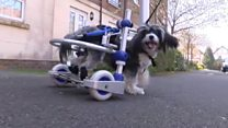 New set of wheels for disabled dog
