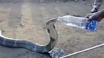 Thirsty snake drinks from water bottle