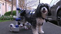 Puffy the dog has her own wheels