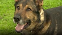 Stabbed police dog to retire