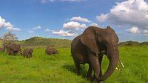 تاثیر مثبت تلاشهای دولت چین برای کاهش تجارت عاج فیل