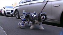 Chó đi xe lăn