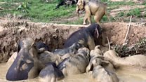 El angustiante rescate de una manada de elefantes que se hundía en un pantano