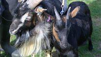 Rare goats await new kid on the block