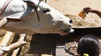 गाय को बचाने इंसान को मारेंगे: राजा सिंह