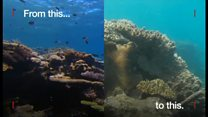 豪グレートバリアリーフのサンゴの「白化」 2年連続で大規模な被害
