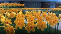Daffodils made from Lego bricks installed in city
