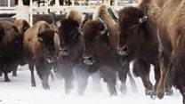 Stampeding buffalo returning to Canada
