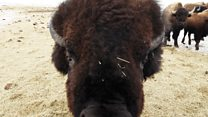 Bison surround BBC video journalist