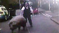 Runaway pig stops traffic