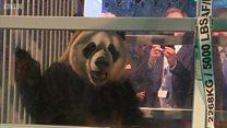 Дипломатичний експорт Китаю: панди - в Нідерланди