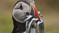 Wildlife on Skomer Island off Pembrokeshire