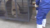 Две панды из Китая начинают новую жизнь в Нидерландах