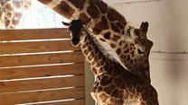 Famous giraffe gives birth in US zoo