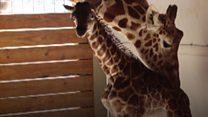 El emocionante parto de April, la jirafa embarazada del zoológico de Nueva York