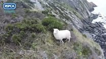 Sheep rescued from cliff after dog chase