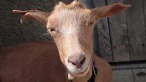 Di Zimbabwe, bayar biaya sekolah bisa dengan kambing