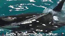 Жаңы туулган кит