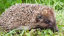 The hedgehog friendly village