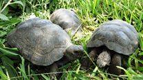 เปรูเตรียมส่งเต่ายักษ์กลับกาลาปาโกส