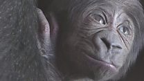First video of baby gorilla born at Bristol Zoo