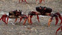 Crab invasion!