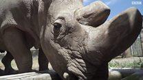 سودان: وحيد القرن الذي قد ينقذ فصيلته من الانقراض
