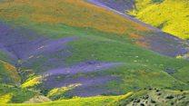 El inmenso manto de flores que apareció en California tras años de sequía (y que se ve incluso desde el espacio)