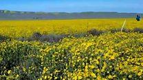 کیلیفورنیا میں جنگلی پھولوں کا قالین بچھ گیا