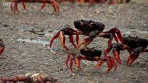 Baía dos Porcos é invadida por milhões de caranguejos