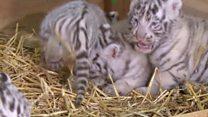 White tiger cub quadruplets in Austria