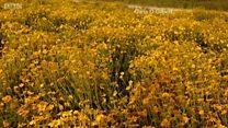 Hoa dại nở tưng bừng ở California