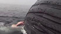 ฉลามแทะซากวาฬ