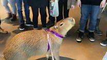 Kanadada stressin kapibara ilə müalicəsi