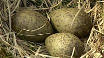 Electric fences protect curlew eggs
