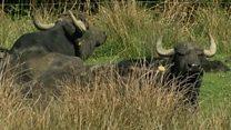Water buffalo help maintain marshland