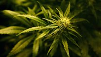 Cannabis a 'locked medicine chest'
