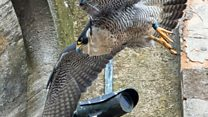 Dramatic end for peregrine falcon chick