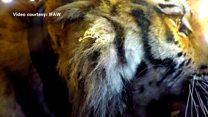 النمور السيبيرية تعود مجددا إلى البرية